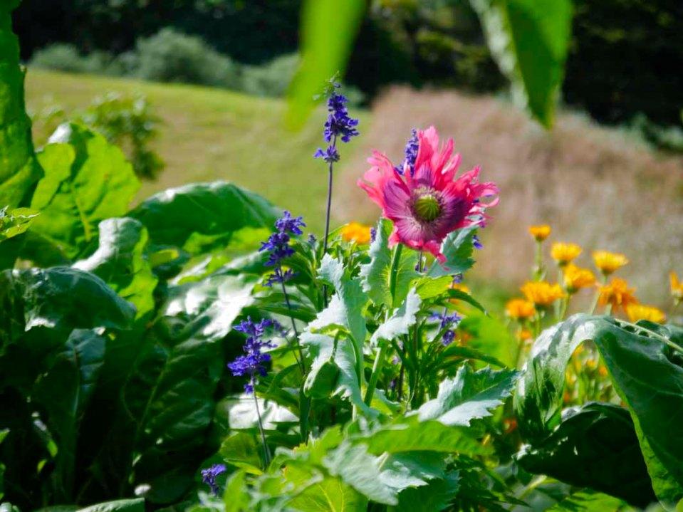 A very happy self seeded poppy