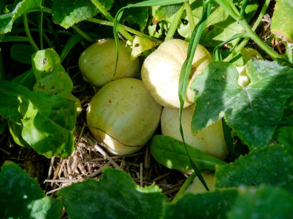 Lovely heirloom cucumbers. What powdery mildew?