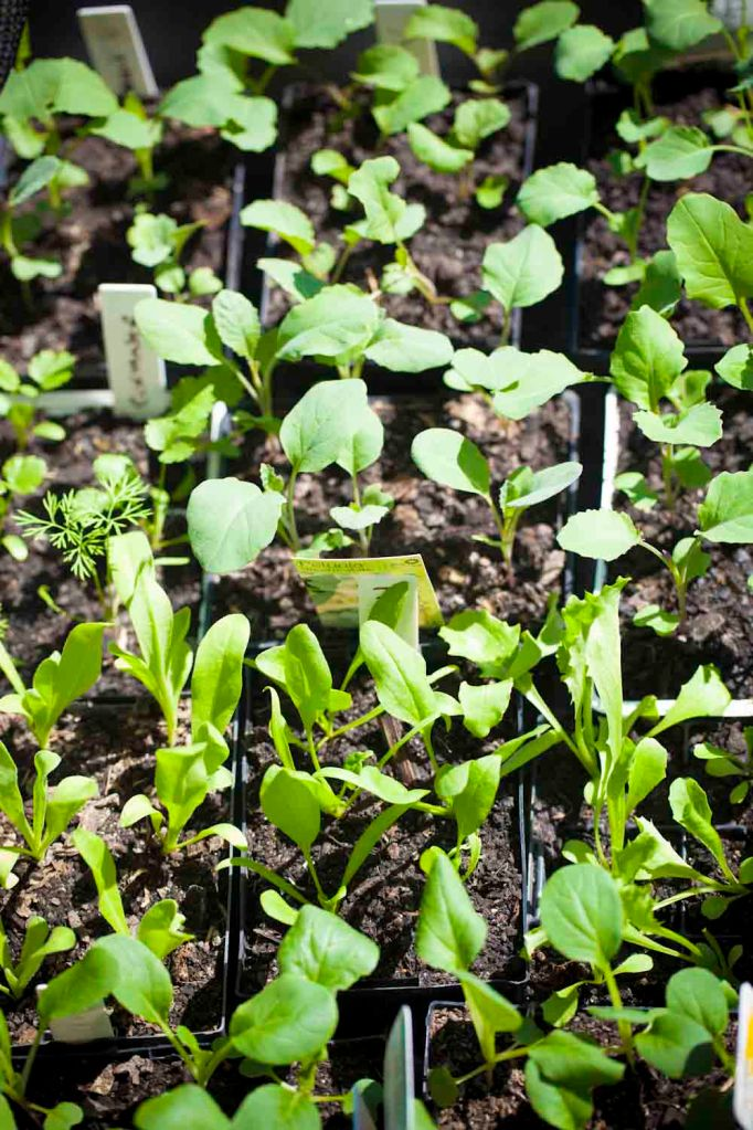 Those seedlings are looking fab .. .something to do with the fish & seaweed fertiliser