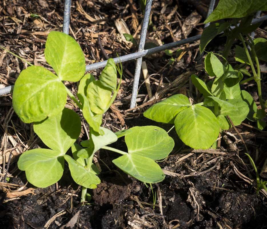 Peas seedlings ... looking good