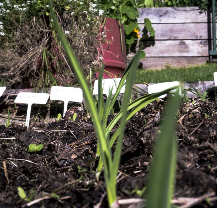 Garlic row growing