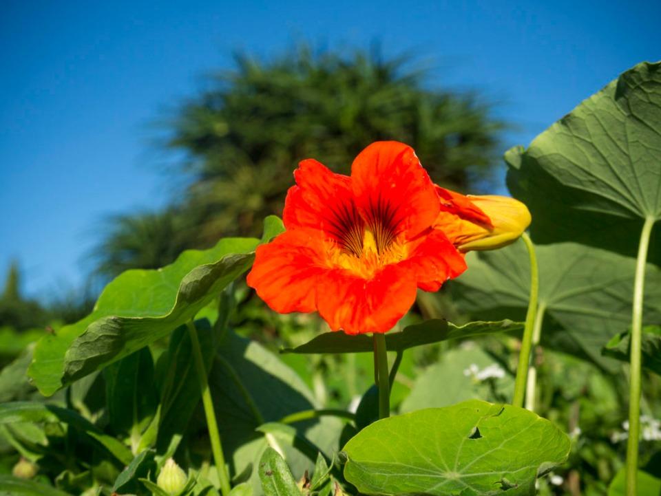 Native to South America .. nasturtium. Pic taken in the sun yesterday.