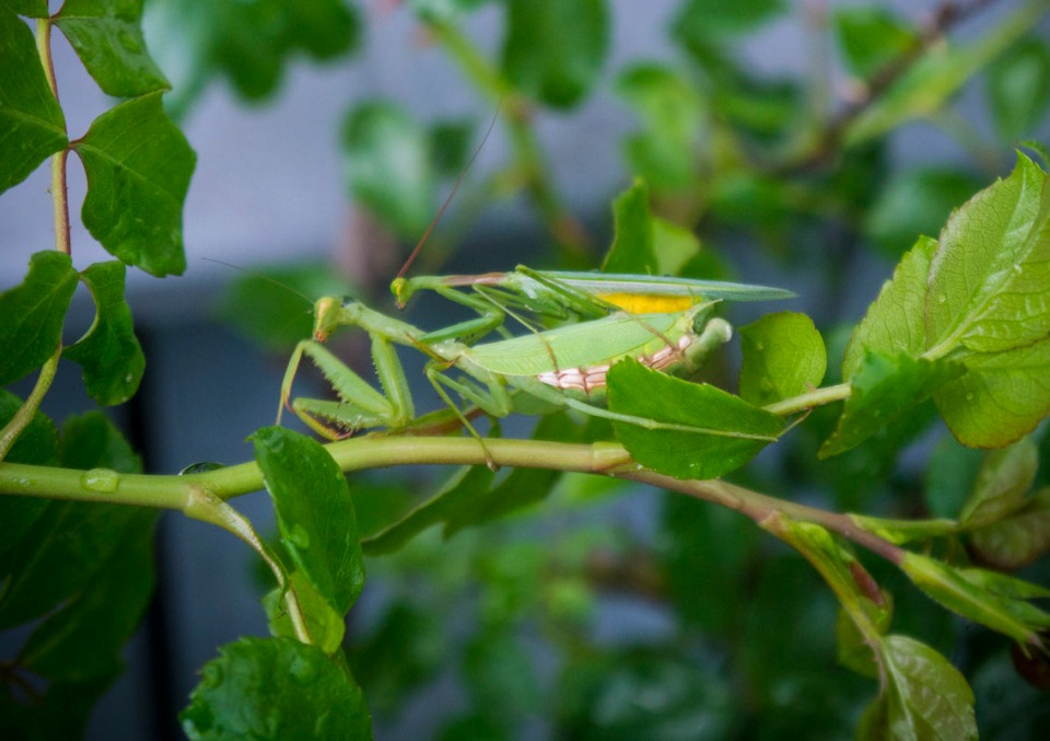 Mr and Mrs Praying Mantis .. although only for a short time!