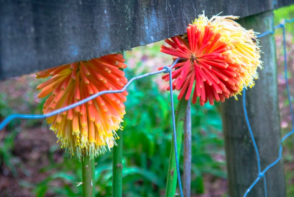 How gorgeous do these pokers look? Snapped at my  neighbour's place ...