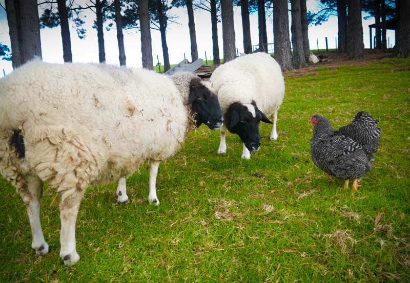 Meet those dorper sheep. Poppy and Lucy