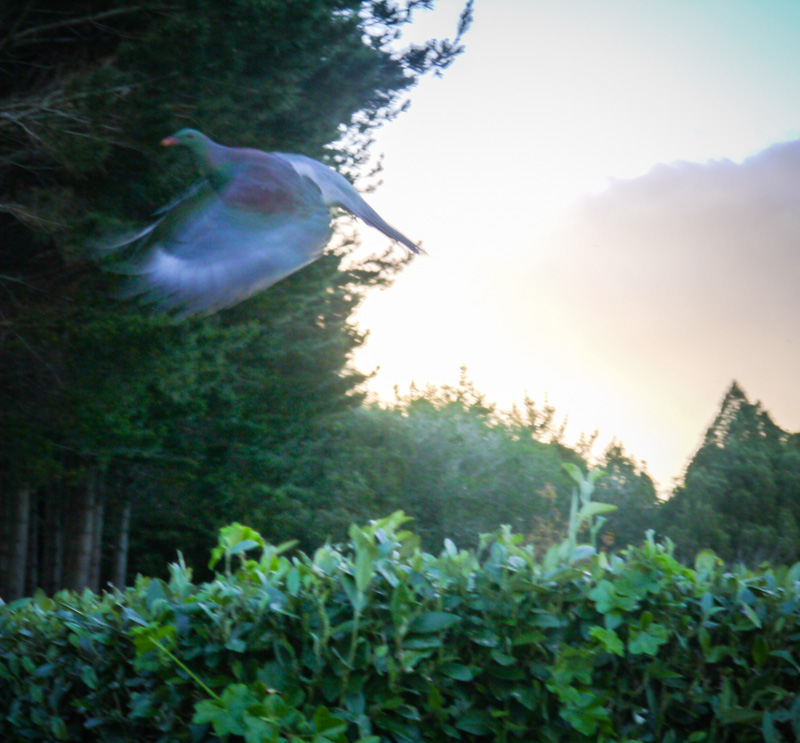 Gorgeous wood pigeon caught mid flight. Stunning