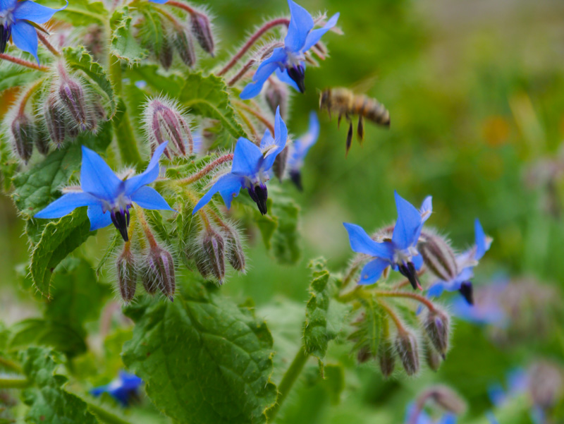 Borage and one of those gorgeous fuzzy pollinators