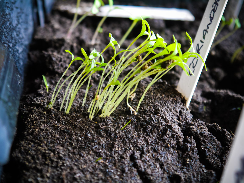 Now that's what you call a 'lean' - coriander seedlings