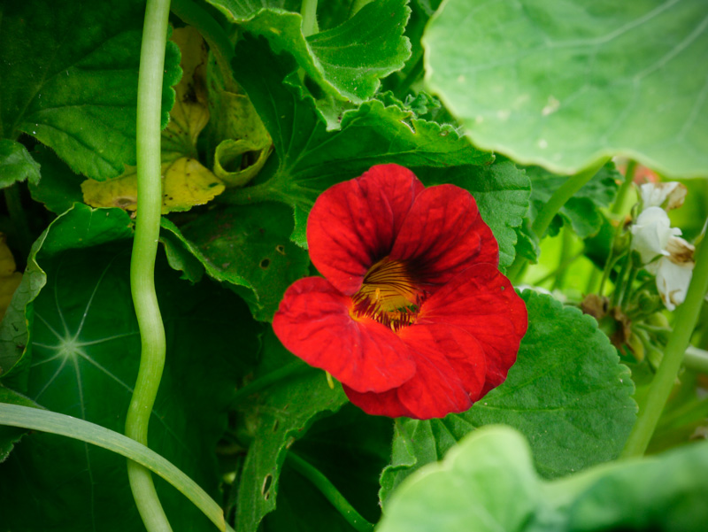 Bright and bubbly and a must in the garden ... nasturtium