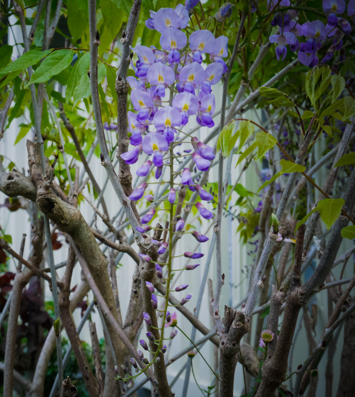 Wisteria ... so pretty and delicate