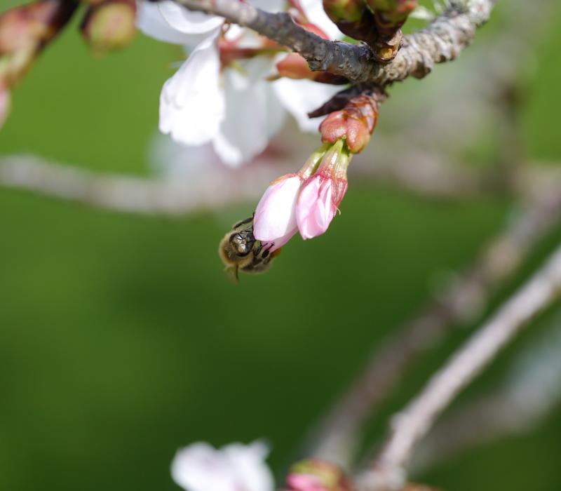 bee on cherry blossom--1030808