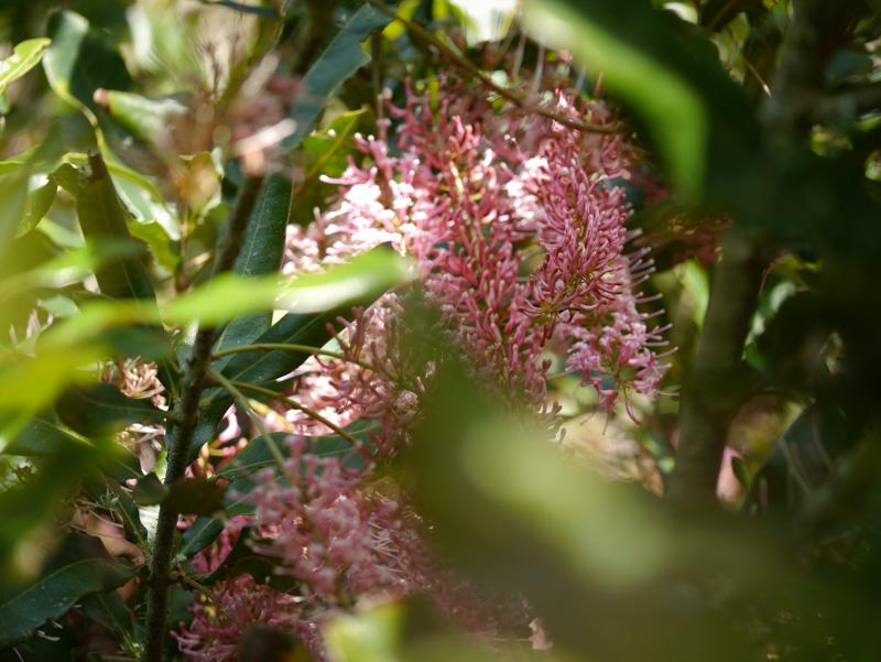 Macademia blossom