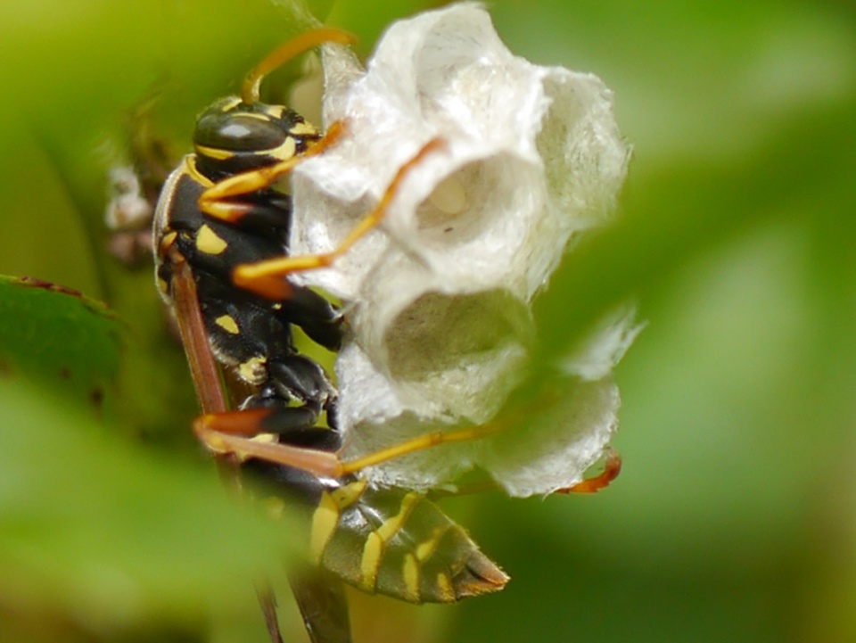 They're back - paper wasp busy making the nest. Loving my new camera lens!