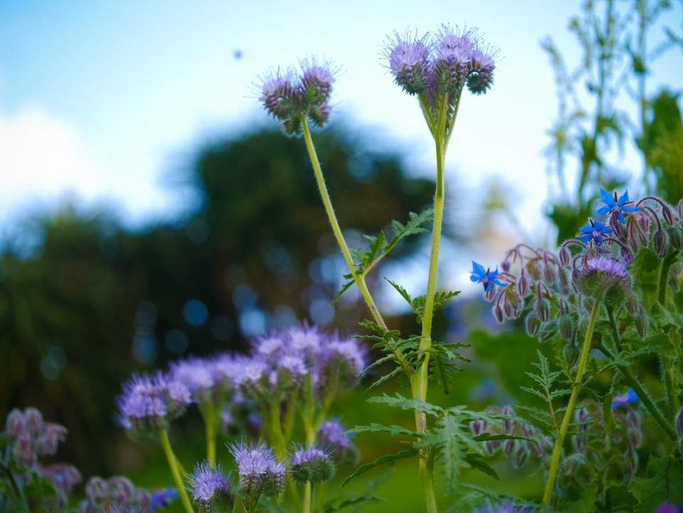 The bees love phacelia, which makes a brilliant cover crop as well