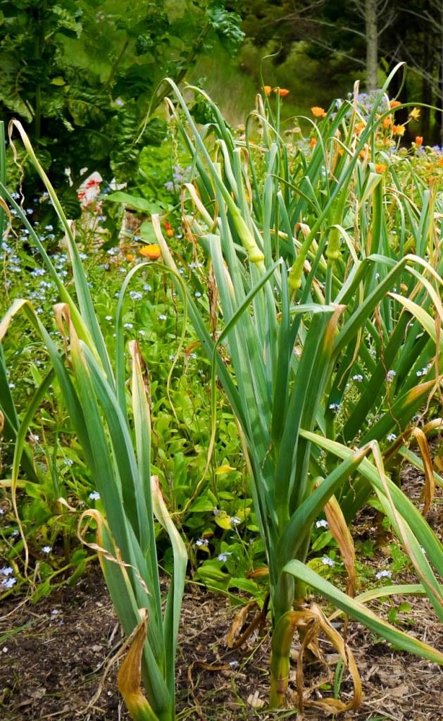 flowering garlic-1040461