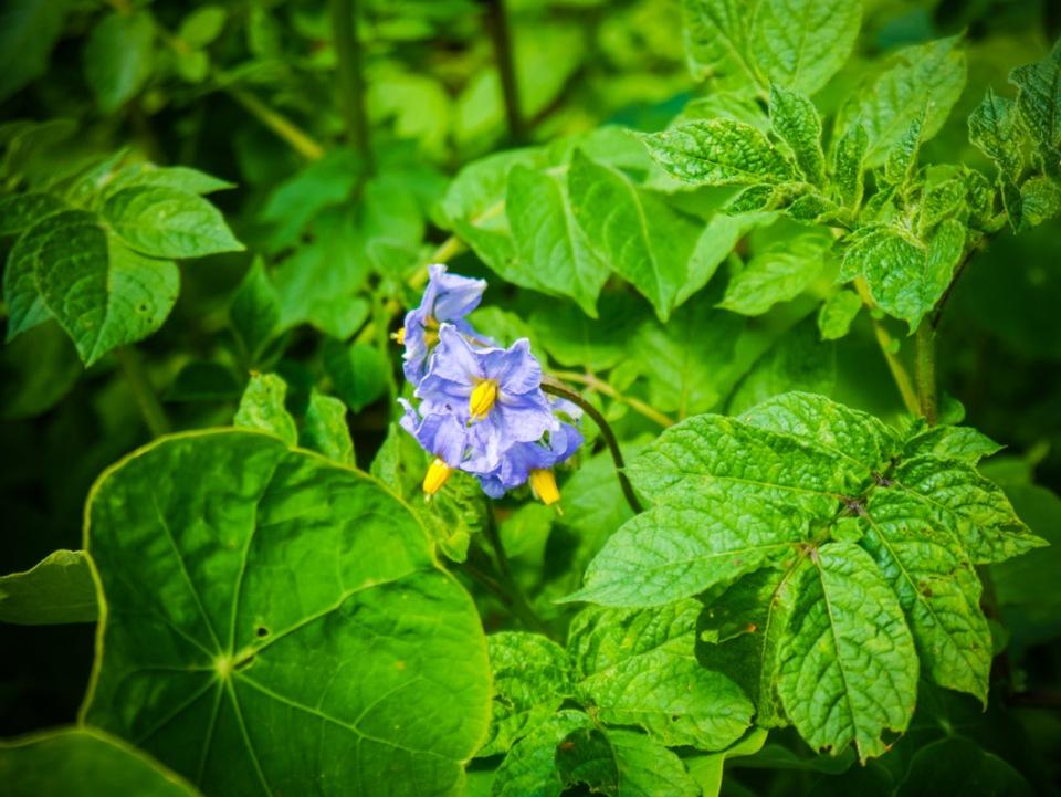 potato flower-1040707