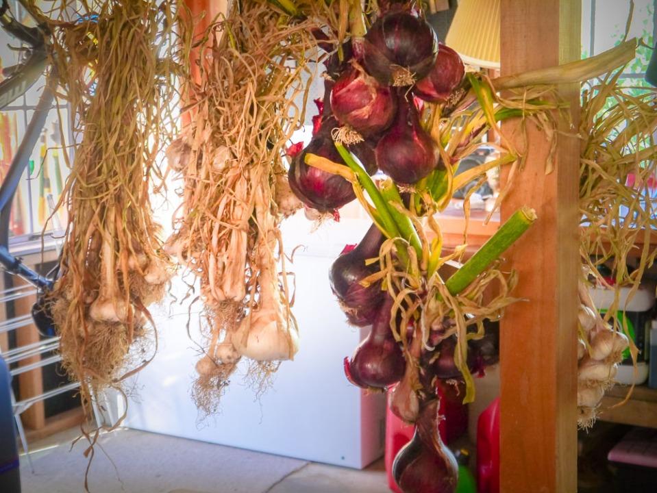 Alliums drying-1050403
