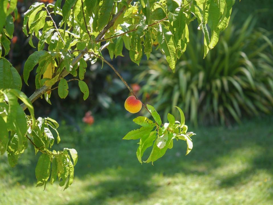 Peach-1050395