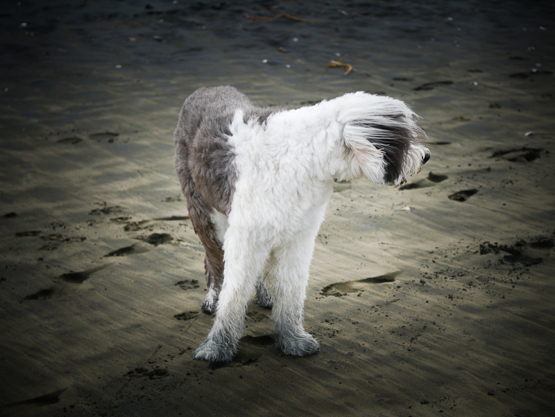 sheepdog-1050946
