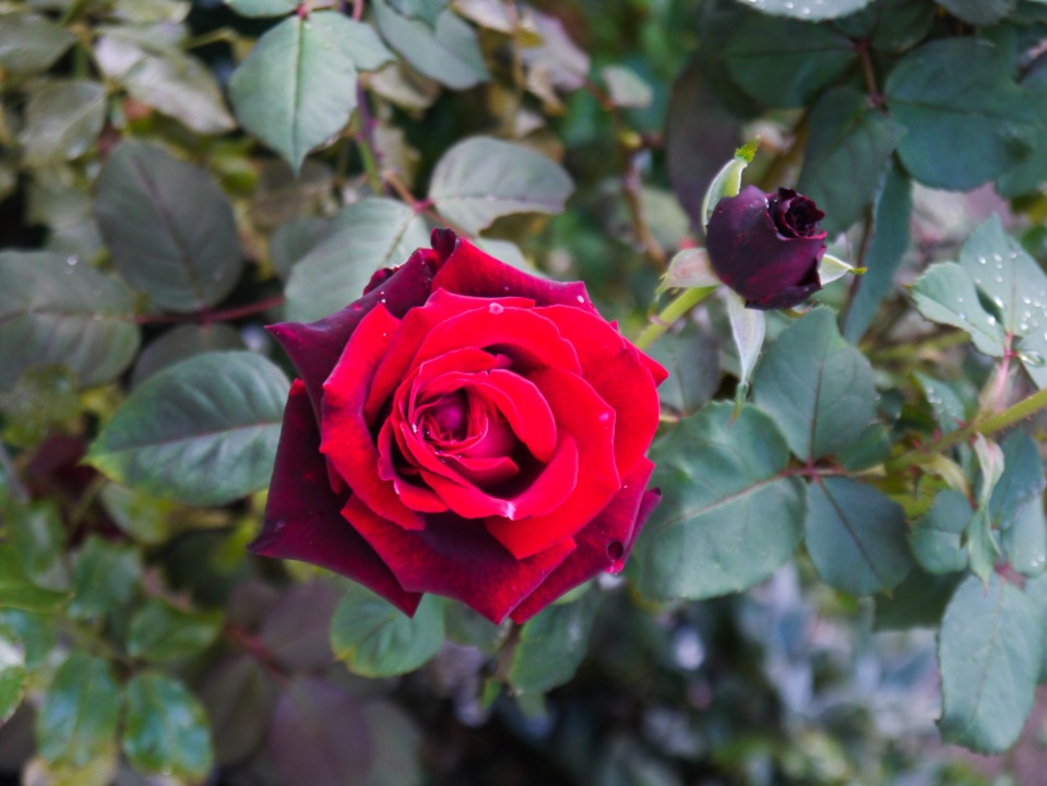 red rose-2