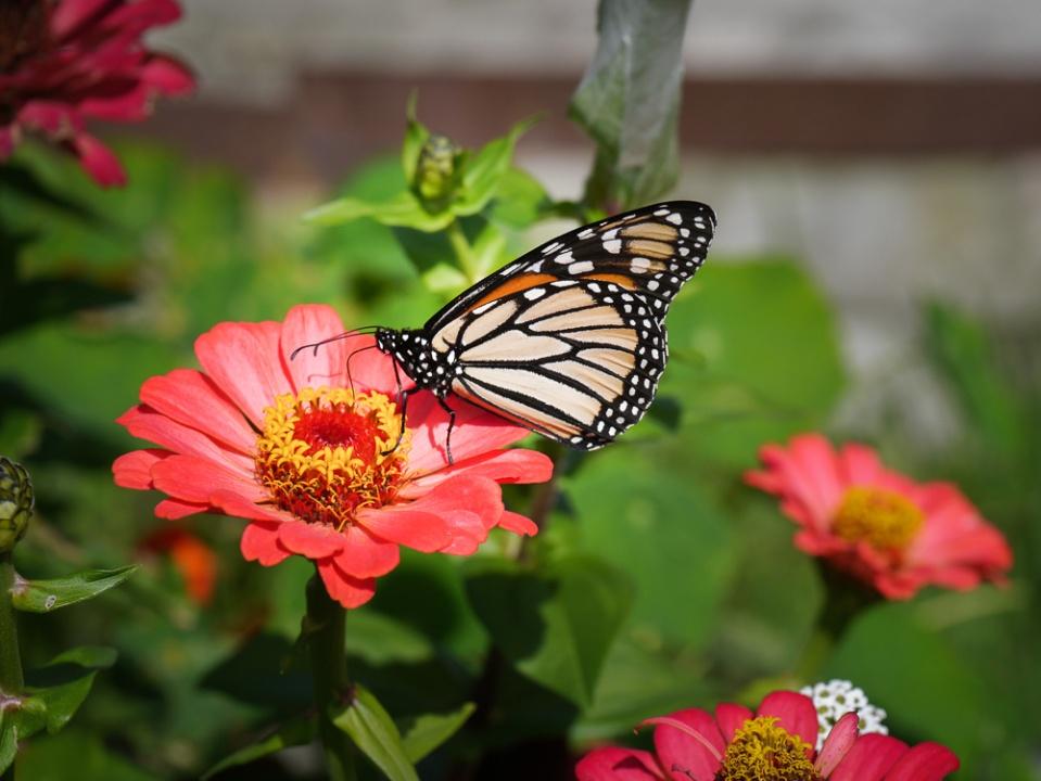 monarch-1060639