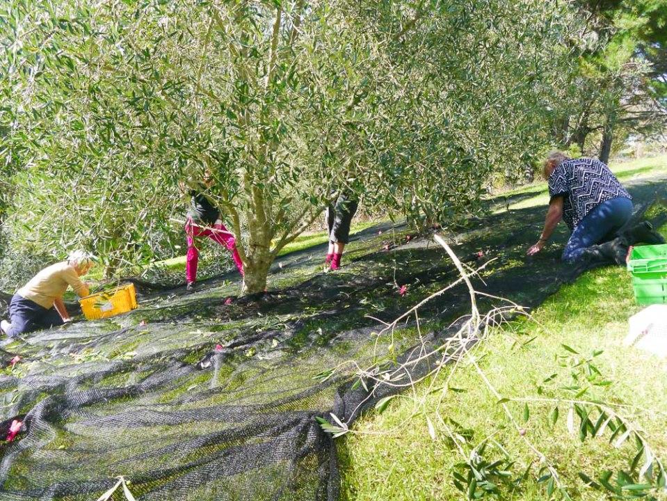 olive haul-1060714