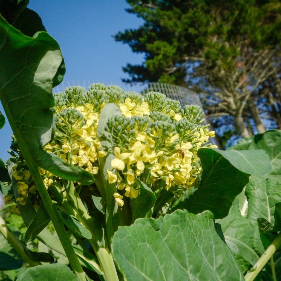 huge-flowering-broccoli