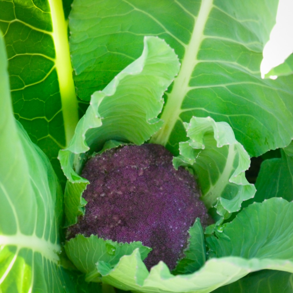 violet-Sicilian-cauli