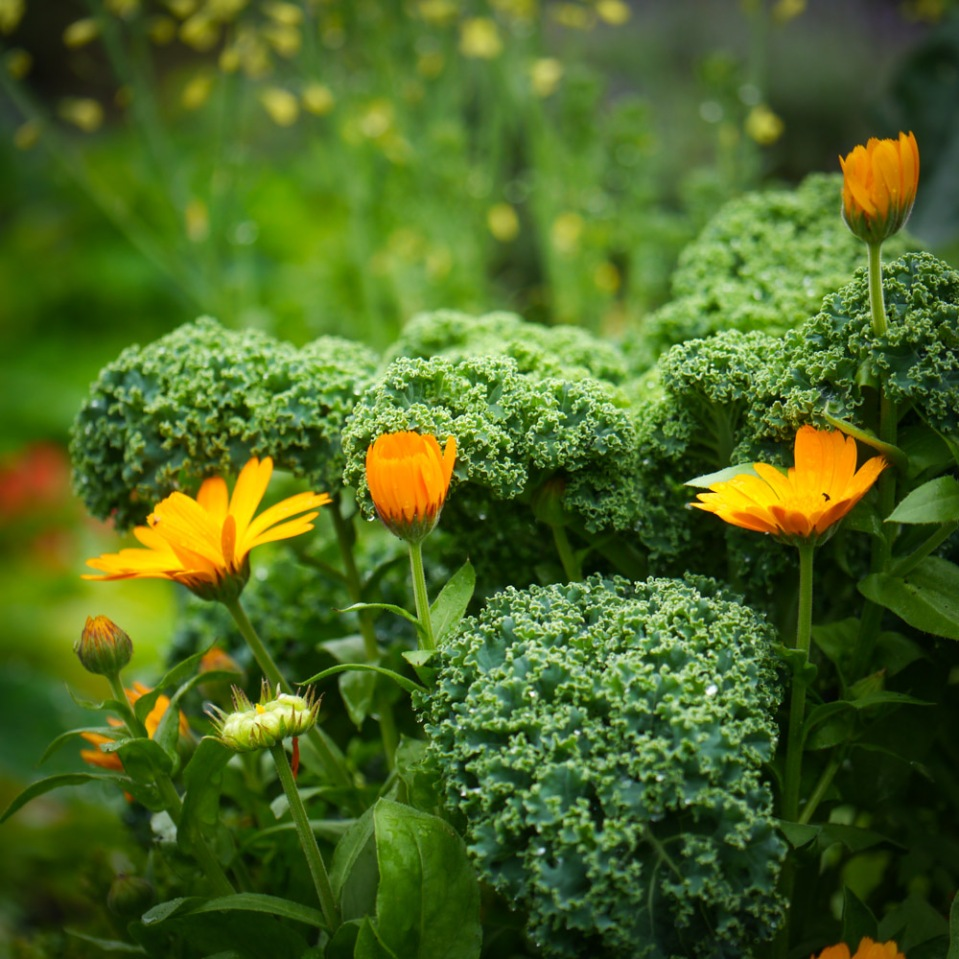 calendula and kale