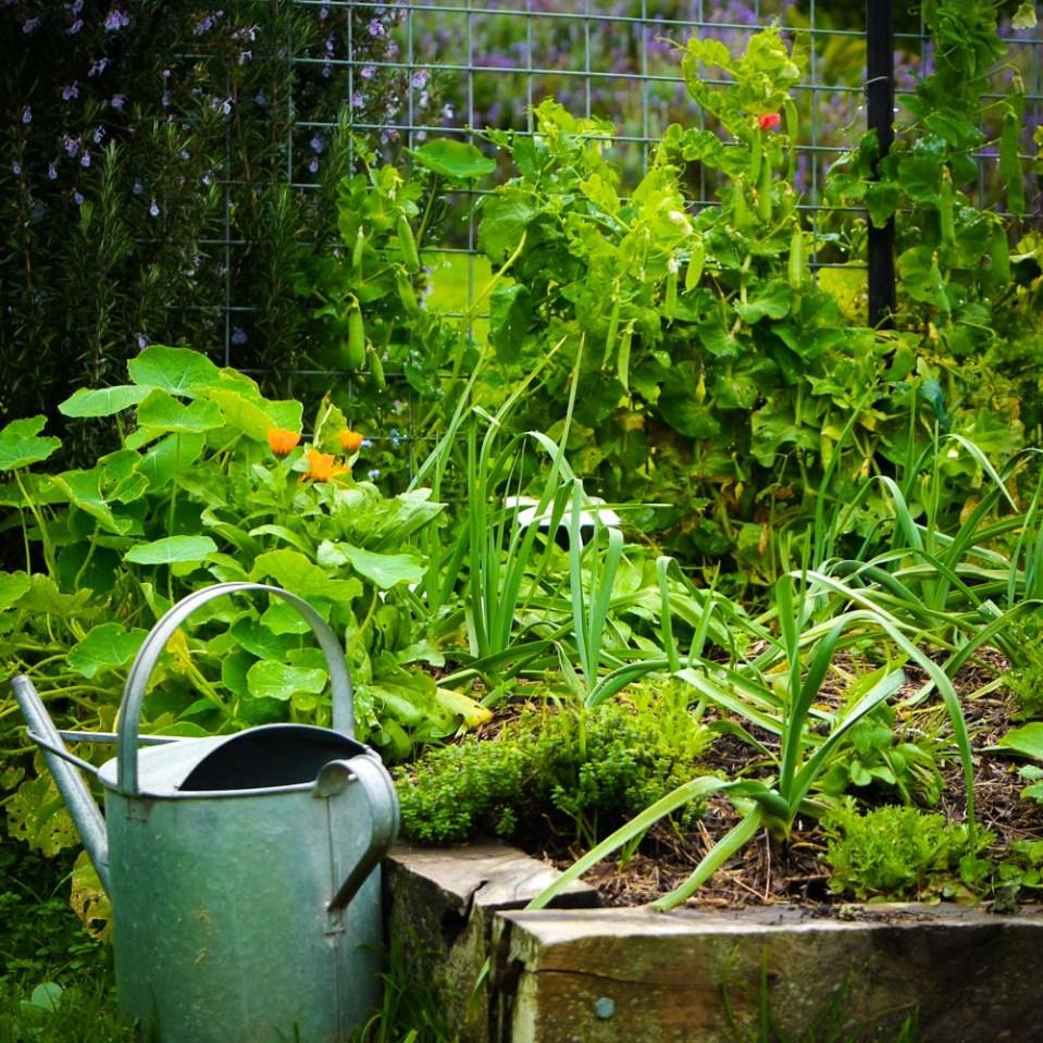 watering can near the garlic garden