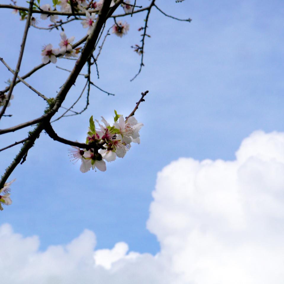 almond blossom-1080456