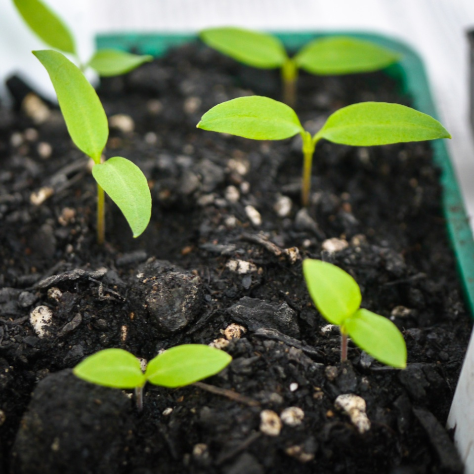 pepper-eggplant-seedlings-1080415