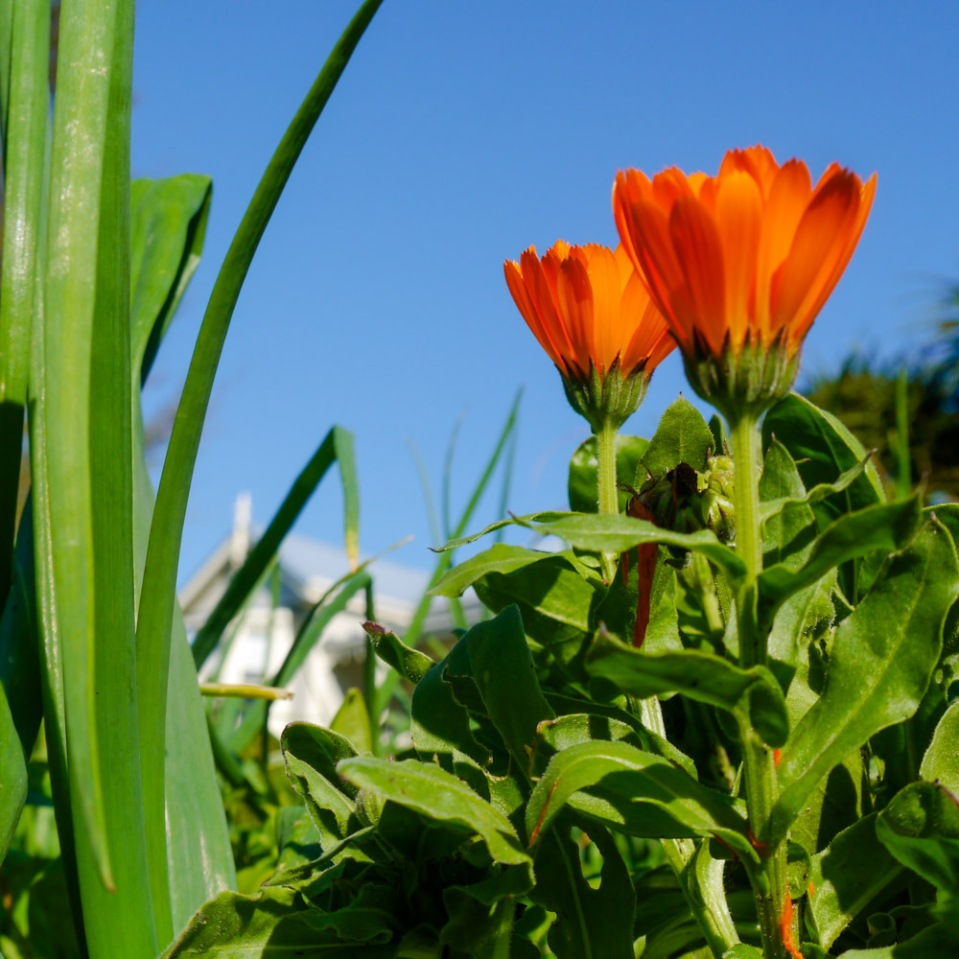 garlic-calendulas-1080491