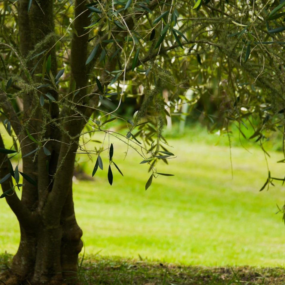 olive-tree-1080626