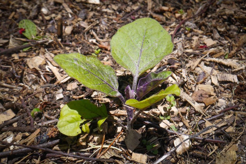eggplant-1090661