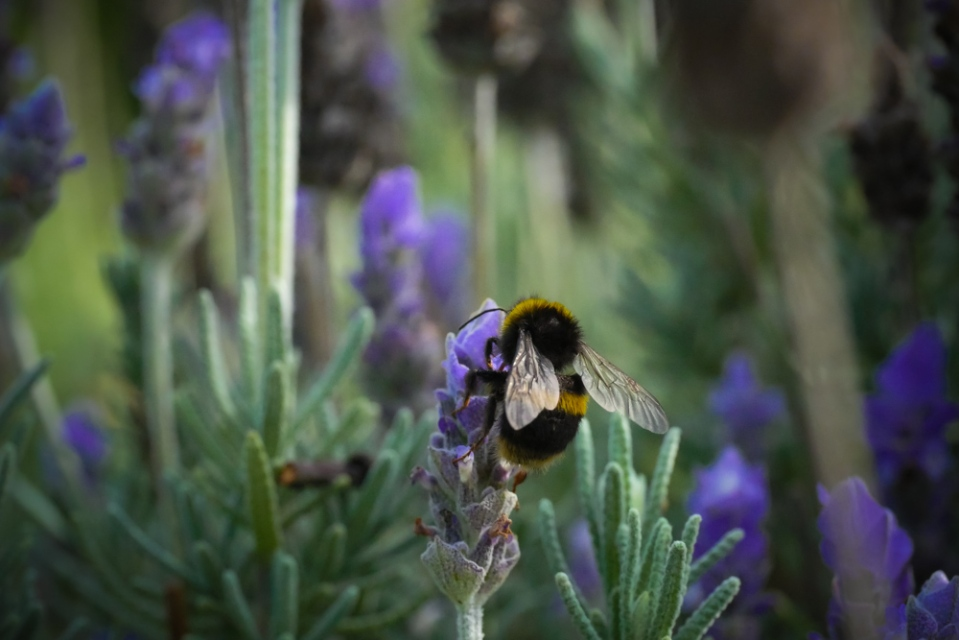 bumble-bee-1130848