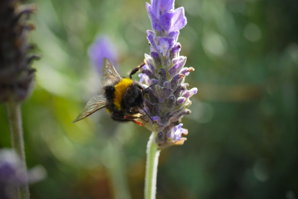 bumble-bee-1130850