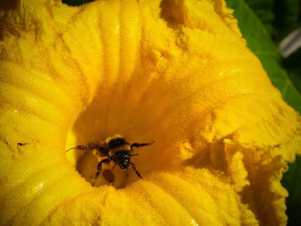 bumble-bee-in-cucurbit-flower-1130018