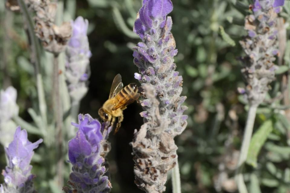 bee-in-lavender-1140181