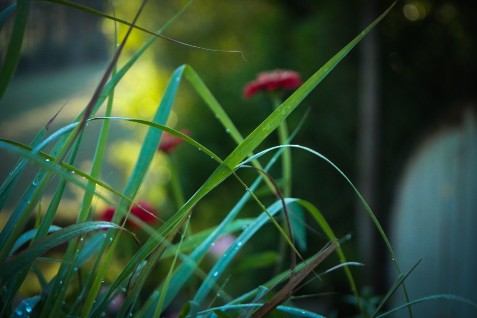 lemon-grass-1130987