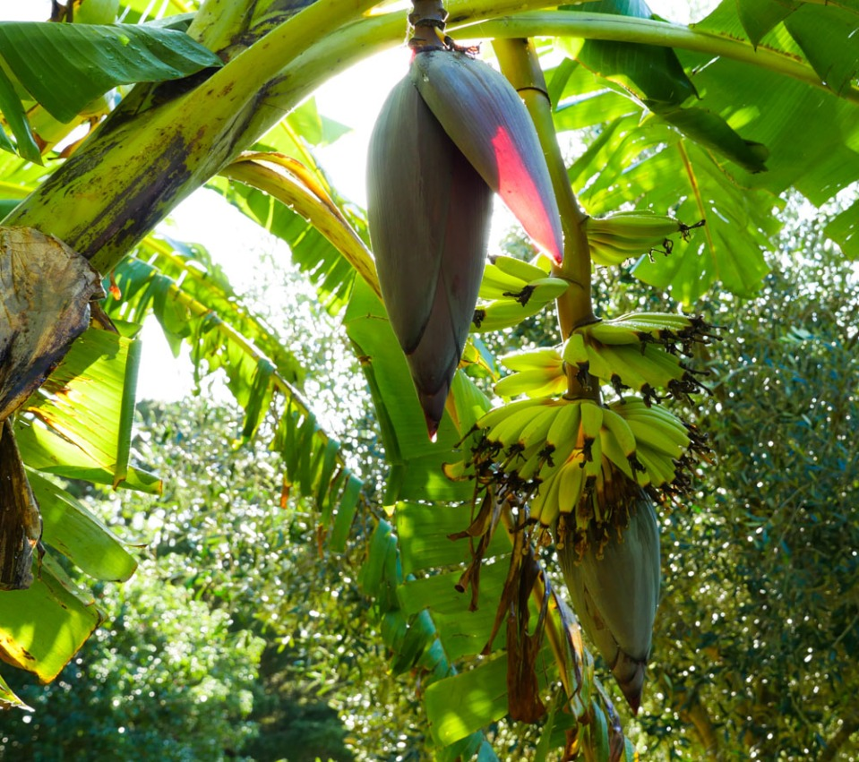 hand-of-bananas-1150116