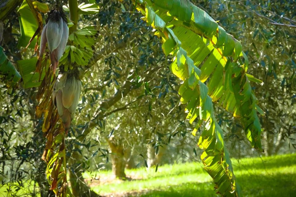 bananas-olives-1160262