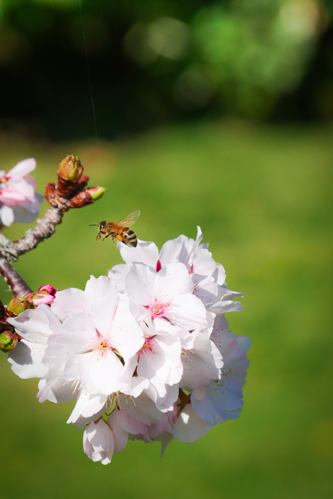 bee in the cherry blossom-1180714