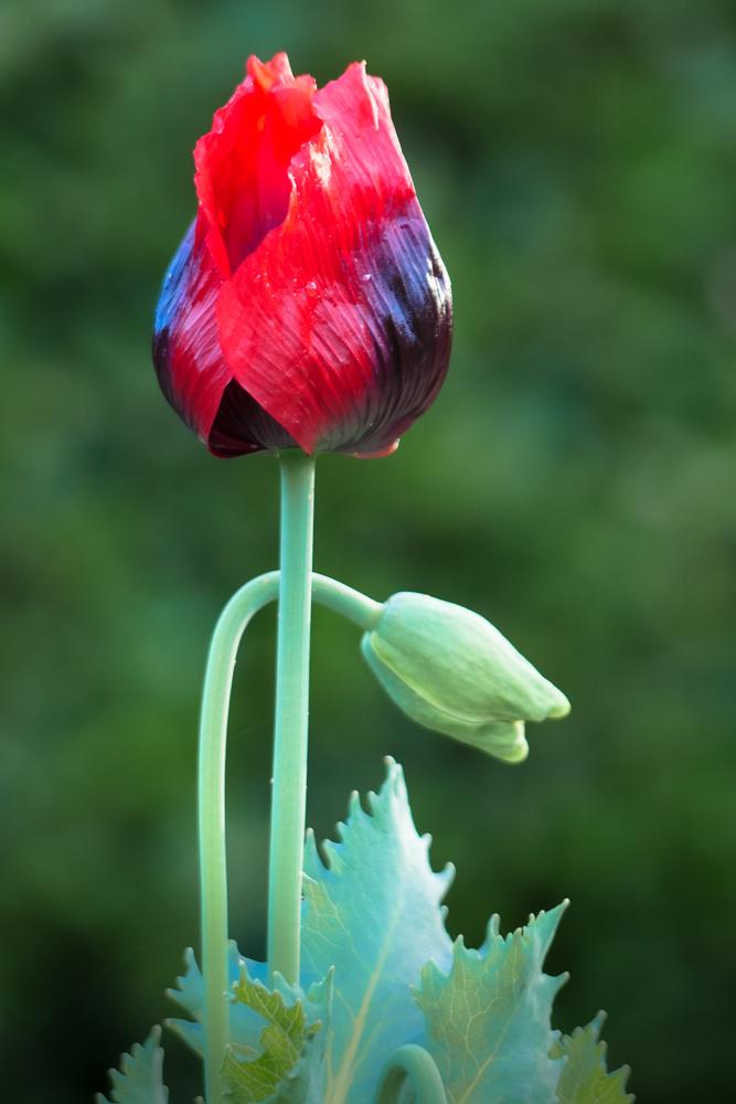 poppy-1190621