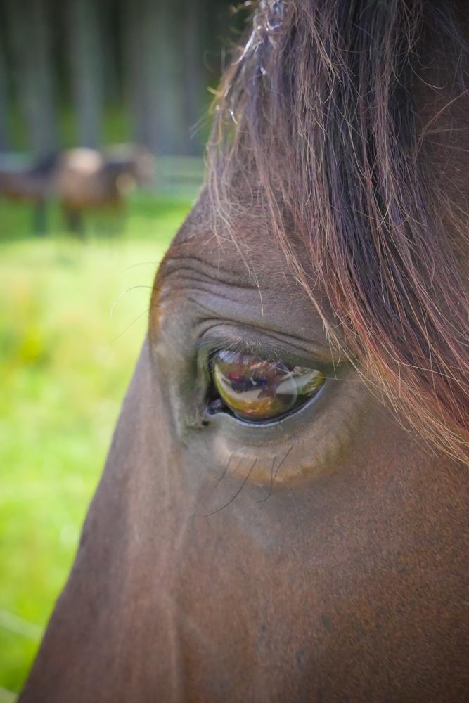 horses eye-1200357