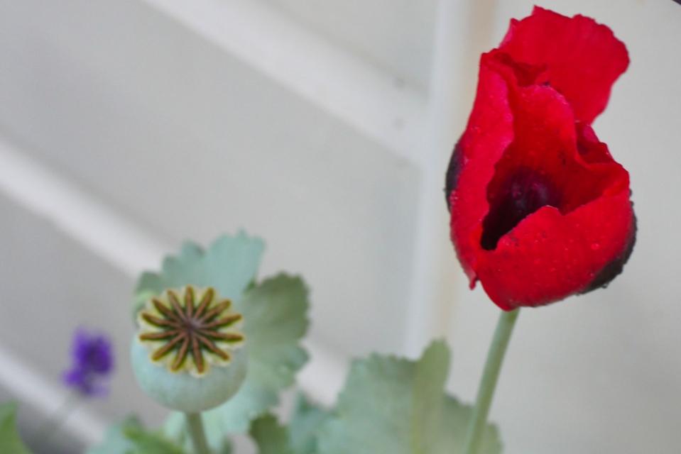 self seeded poppy-1200389