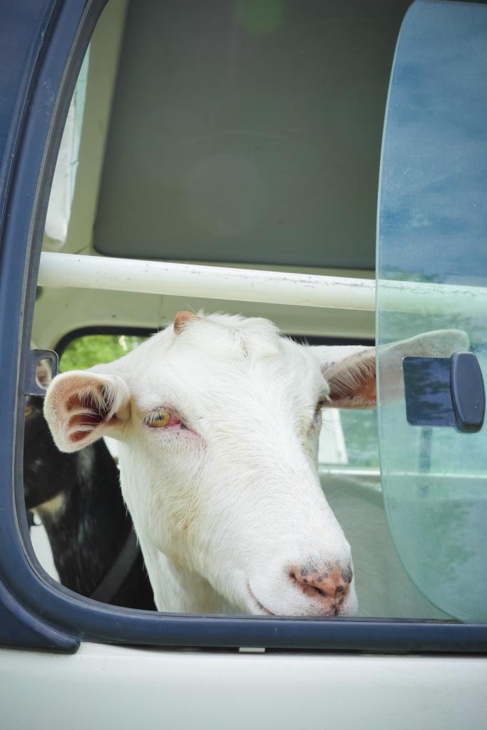Goat in van after Show