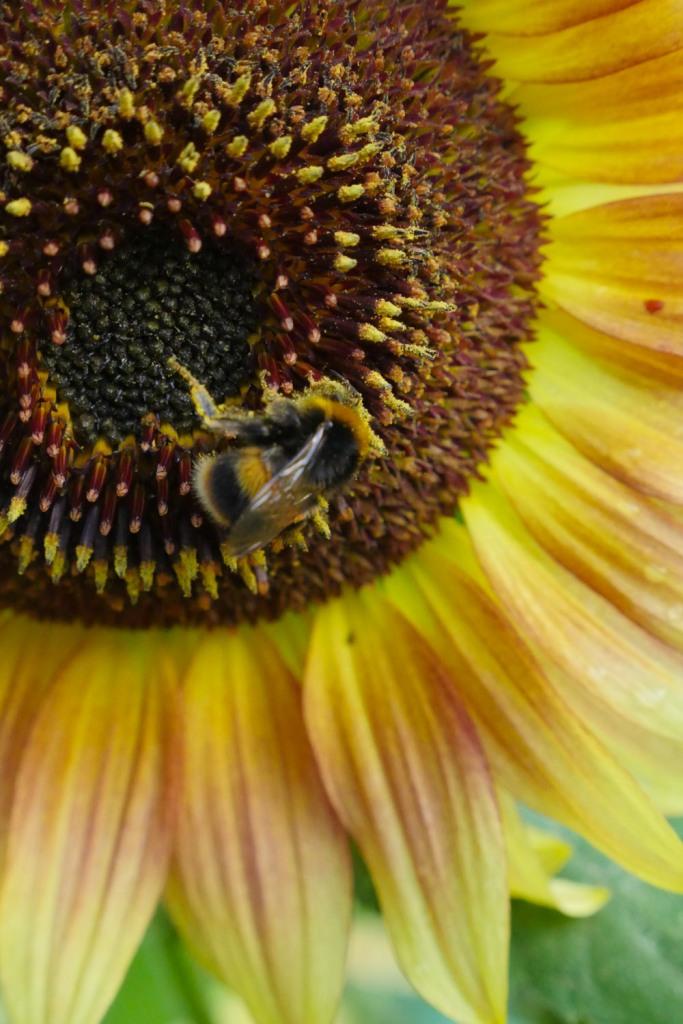 sunflower magic-1220437