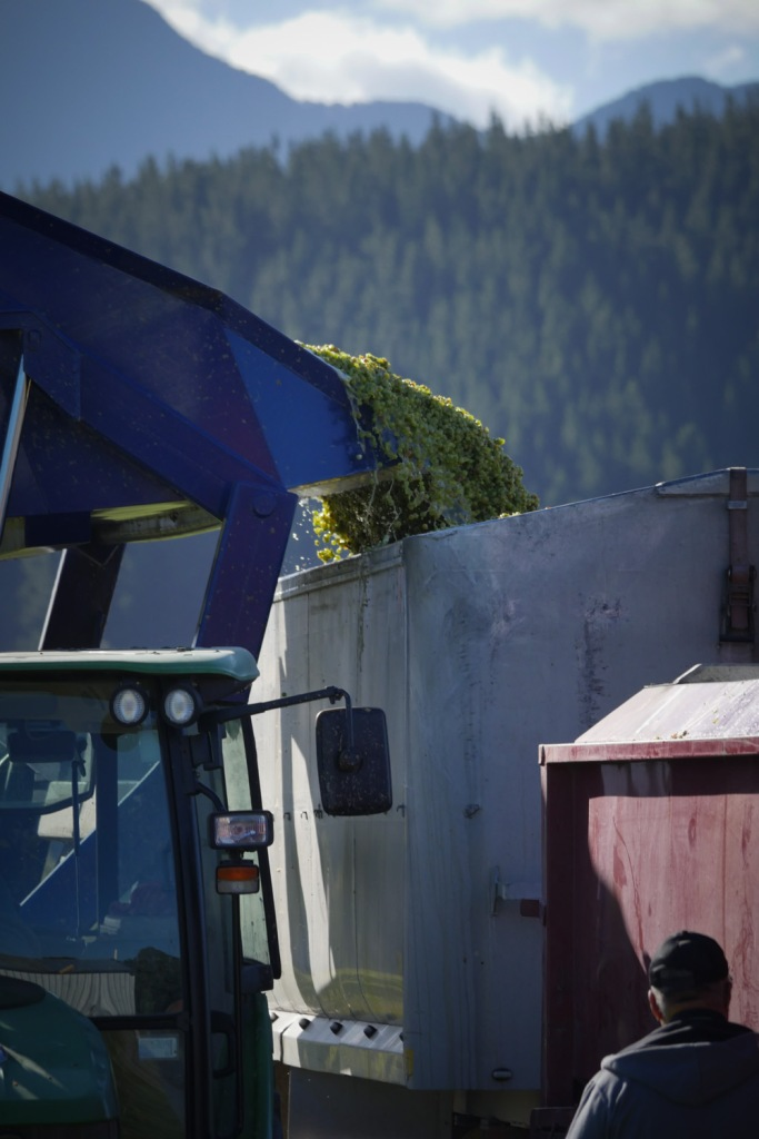 grapes being poured into the truck
