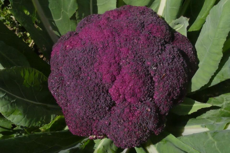 violet sicilian cauli-1260088